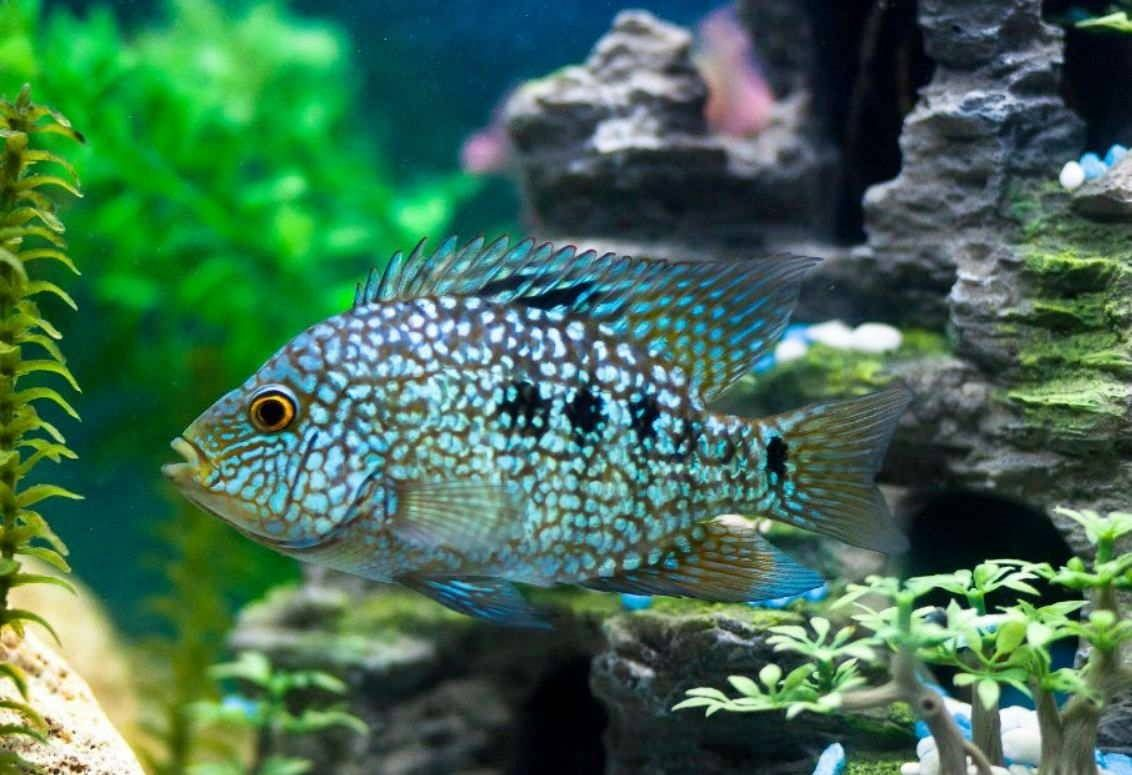 Perhaps You Already Know That Texas Cichlid Is One Of The Most Aggressive Freshwater Fisheswhich Are Very Natural To The Usa Fou Cichlids African Cichlids Fish