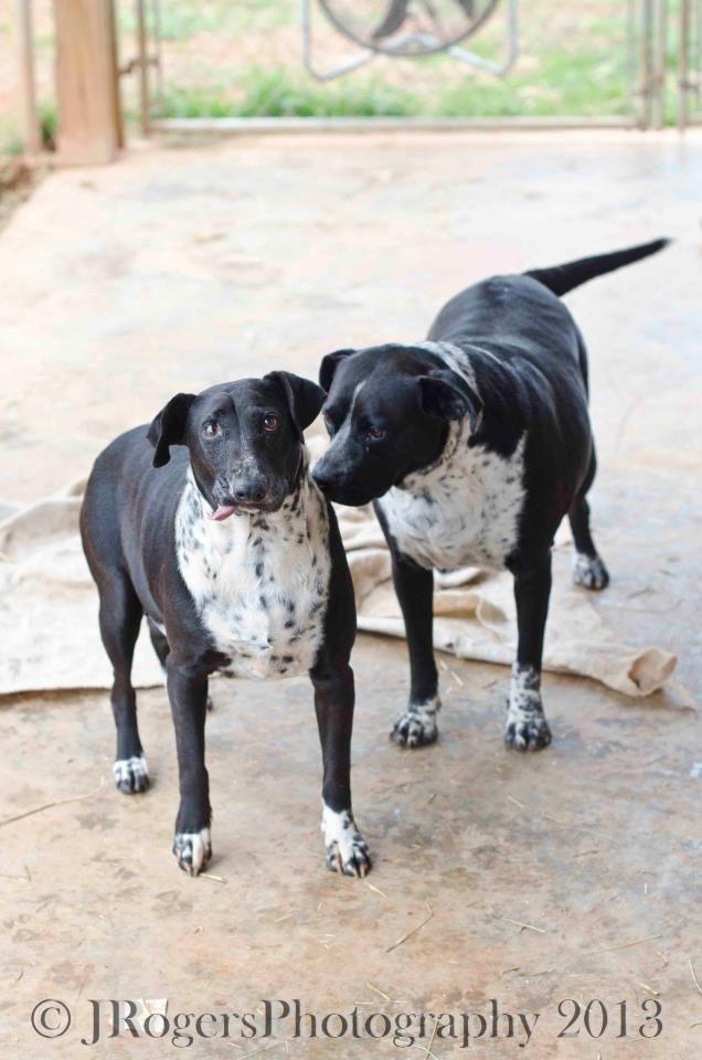 Adopt Dot Pepper On Black Labrador Retriever Dalmatian Mix