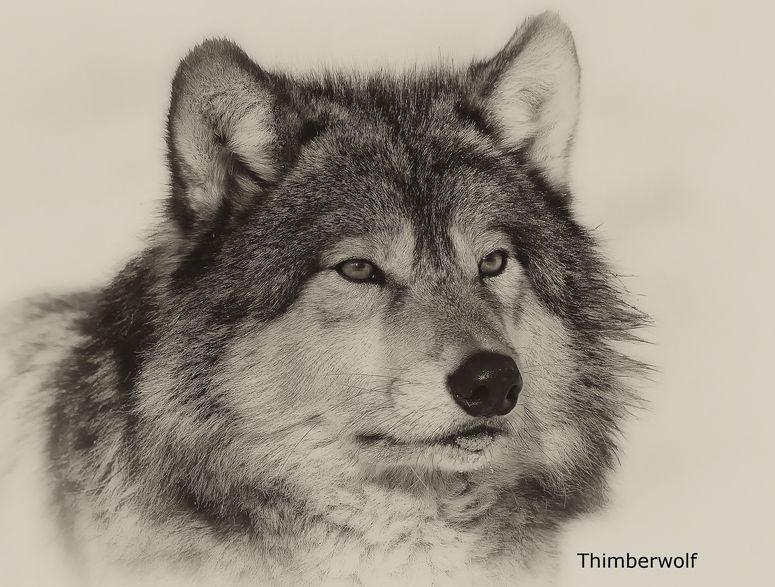 Pin von Sonnenlicht auf Wölfe | Wolf hunde, Wolf, Wolf bilder