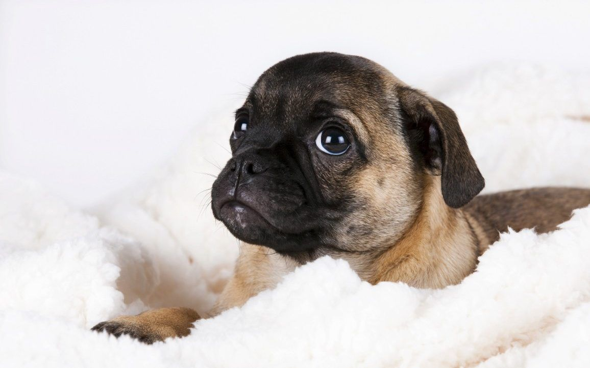 Crufts Urged To Admit Retro Pugs Without Squashed Faces To Wipe