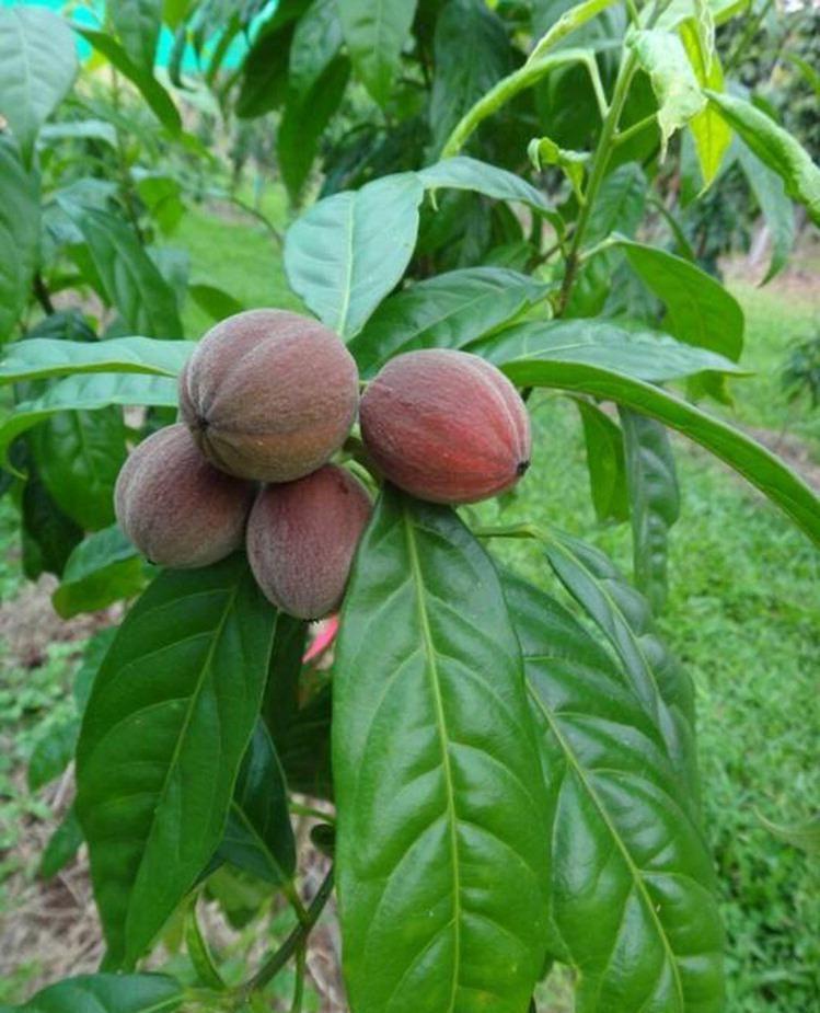 Regenwaldfrucht