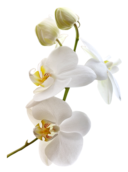 Orchid e orchidee pinterest fleur orchid e orchid es et fleur - Prendre soin des orchidees ...