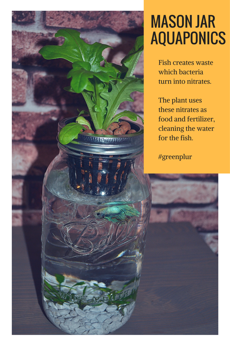 How mason jar aquaponics works fish waste used as for Fish tank herb garden