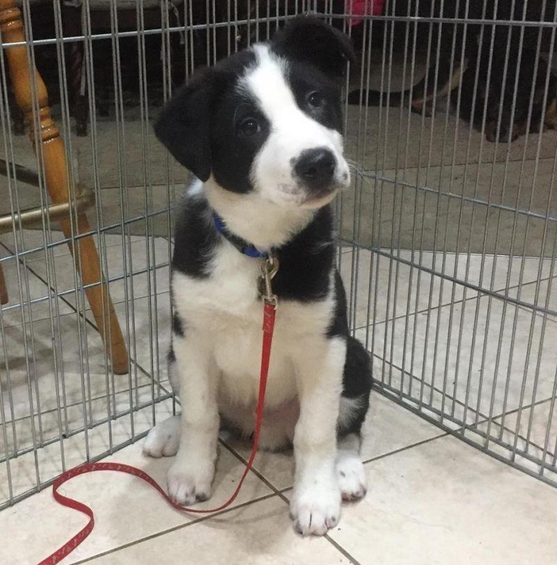 Adopt Harley Adopted On Paws Rescue Black Labrador Retriever