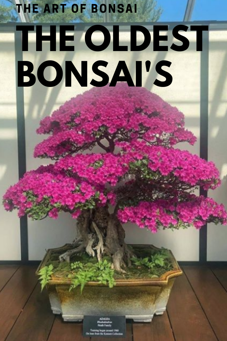 The Oldest Bonsai In The World Bonsai Tree Bonsai Indoor Bonsai Tree