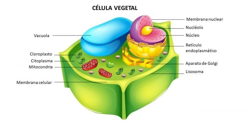 10 Características De La Célula Vegetal Modelo De Célula Vegetal Célula Vegetal Celula Eucariota Vegetal