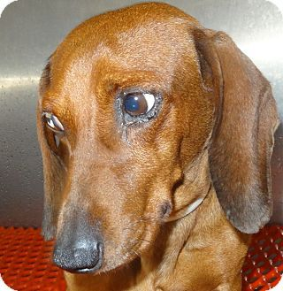 Rome Georgia Urgent Dachshund Rescue Needed This Adorable