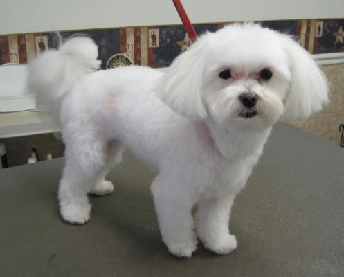 Maltese haircut styles photo gallery pets pinterest maltese maltese haircut styles photo gallery winobraniefo Image collections