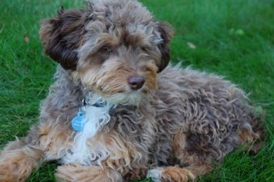 Miniature Australian Shepherd Cross Toy Poodle My Dream Dog Cute Dogs Puppies Cute Animals