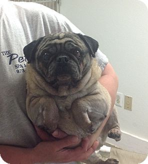 Pin By Whitney Maxson On Adopt Me Pug Mix Pugs For Adoption
