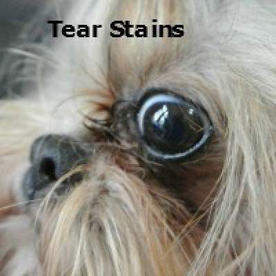 Tear Stains In Shih Tzu Dogs Shih Tzu Dog Shih Tzu Dog Tear Stains