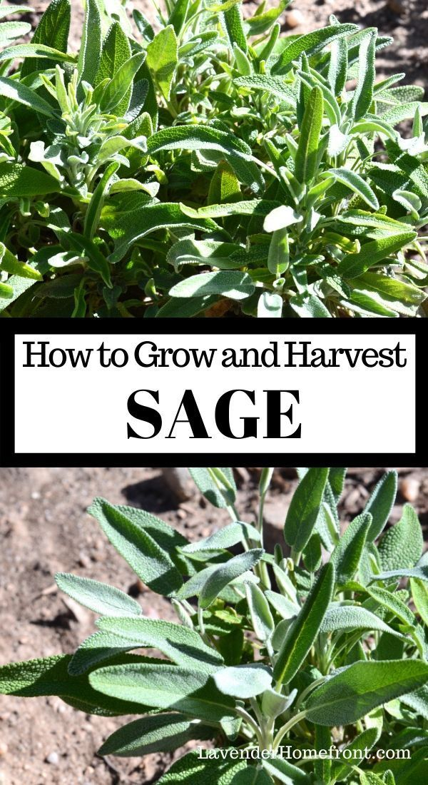 Learn how to plant, grow and harvest sage with this easy step-by-step tutorial. Plant a thriving herb garden this year! #beginnergardening #gardeningtips #gardenplanting #herbgardening