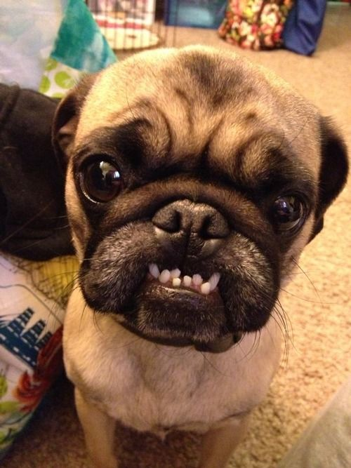 Mr Pug Might Be In Need Of Braces Cute Pugs Pugs Pug Love