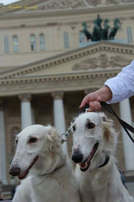 Two borzois in front of the Bolshoi Theatre, Moscow, Russia. #animals #dogs #borzoi