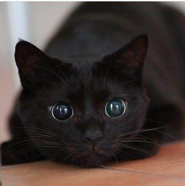 Black Cat Magic: Cats Vs Panthers - I Can Has Cheezburger?