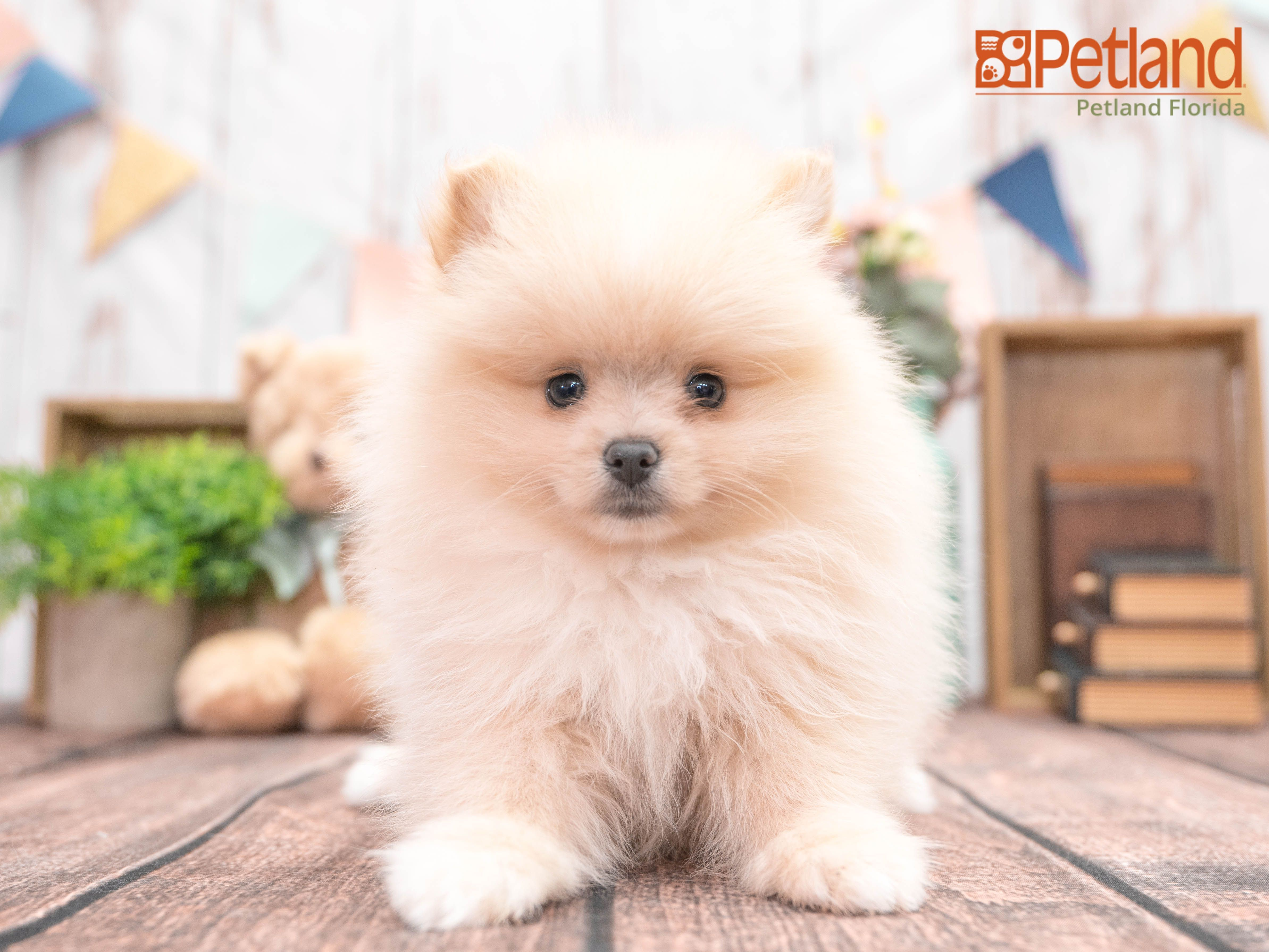 Petland Florida has Pomeranian puppies for sale! Check out