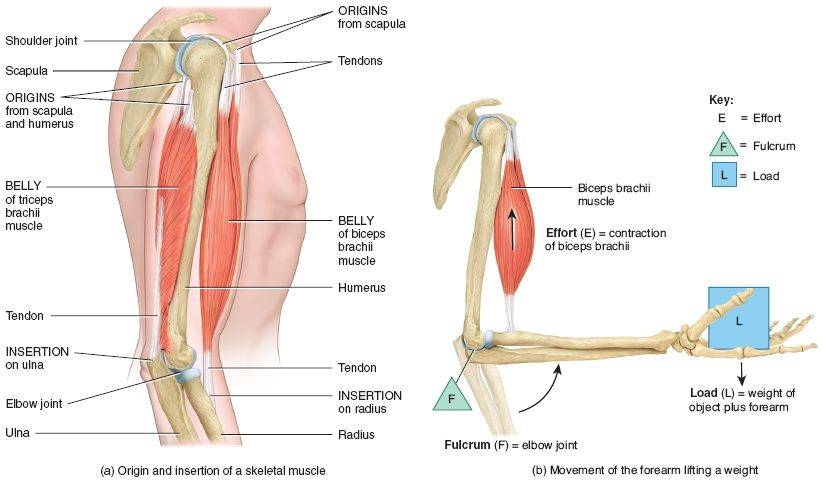 Bicep tendon placement. | Anatomy - Arm | Pinterest | Anatomy