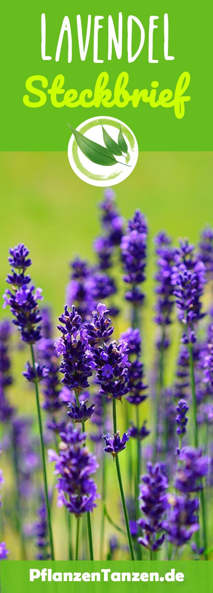 【ᐅ】Lavendel Pflege 2019 #kräutergartenbalkon