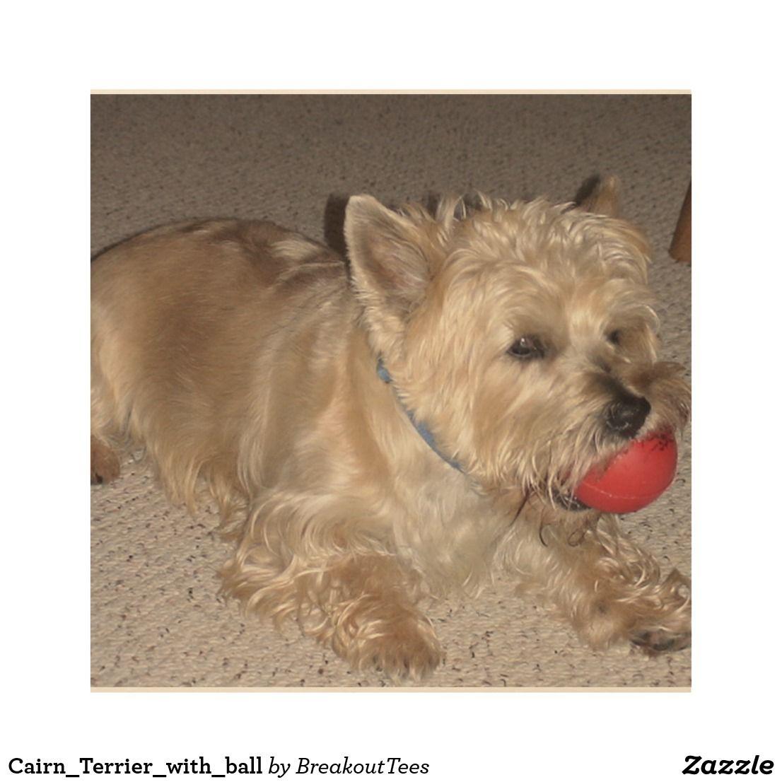 Cairn Terrier With Ball Cairn Terrier Cairn Terrier Puppies