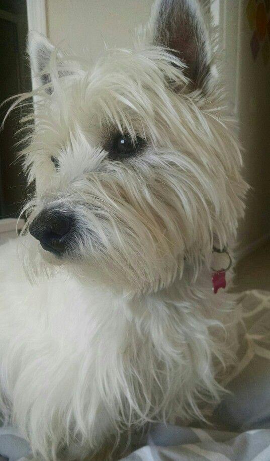 West Highland White Terrier Westie Puppies Dogs Dog Remedies