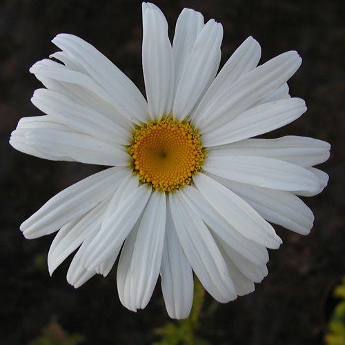 LEUCANTHEMUM 'Alaska' (Marguerite d'été) : Les variétés sont souvent des améliorations à grandes fleurs blanches, de formes variées, parfois doubles. Donnent d'excellentes fleurs à couper et les simples sont idéales en prairies fleuries ou jardins naturels. Variété vigoureuse. Feuillage vert brillant. Grandes fleurs simples.