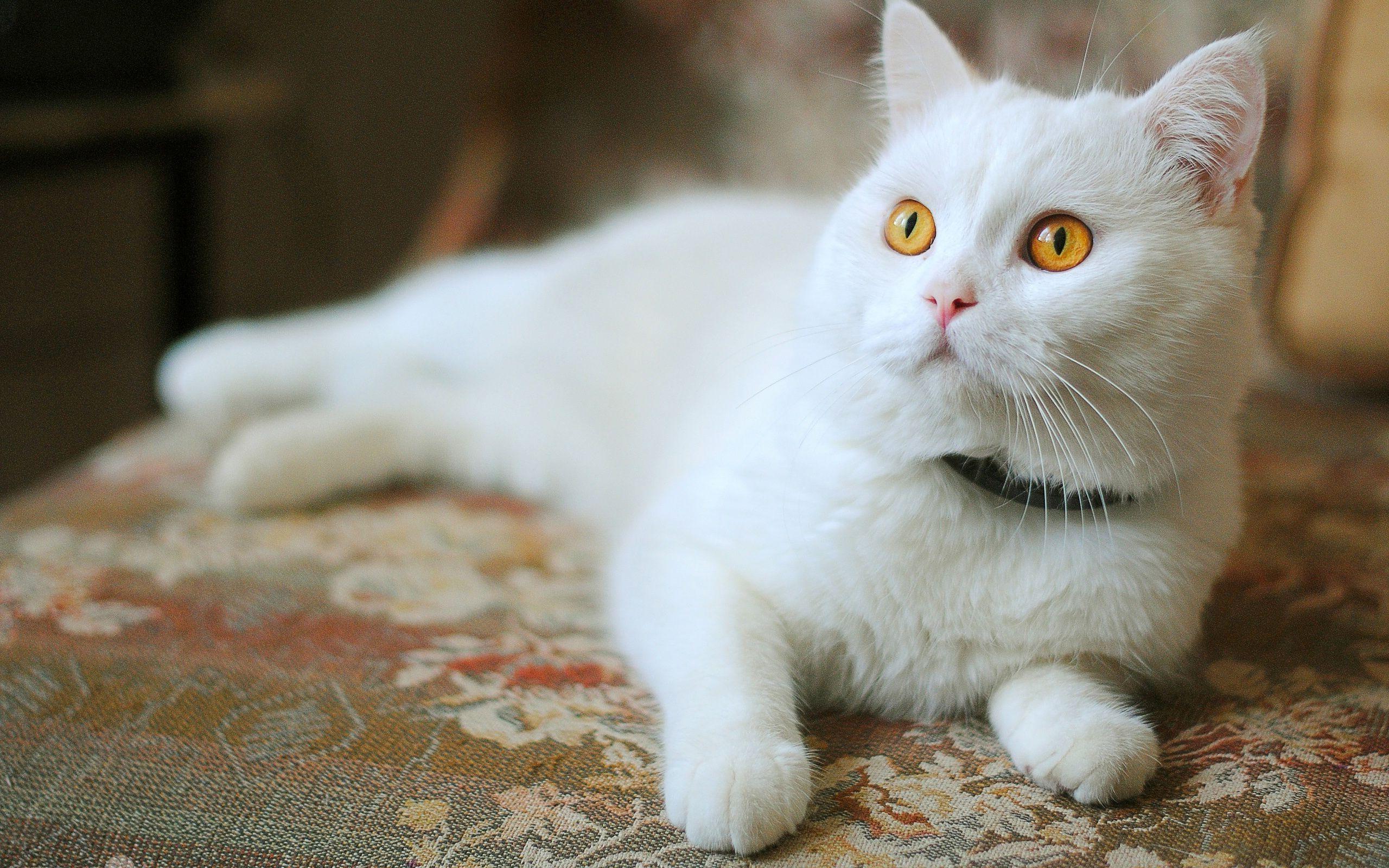 Animals White Cat With Yellow Eyes 2560 X 1600 Animals Desktop Wallpapers Kedi