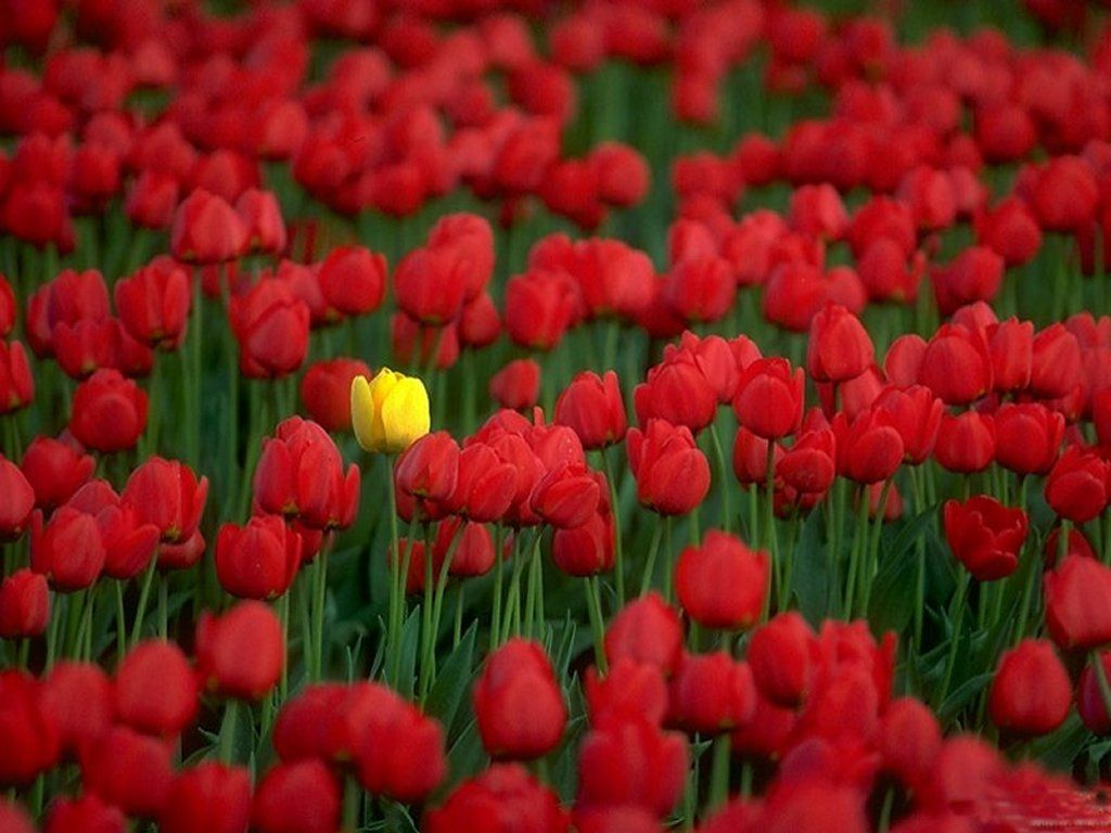 Red Tulips Flowers Wallpapers Red Tulips Tulips Flowers Flower Wallpaper