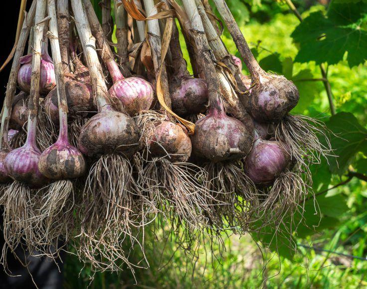 Potager 25 légumes à ne pas associer Planter ail