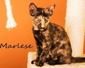 Adopt Marlese On Cats Adoption Animals