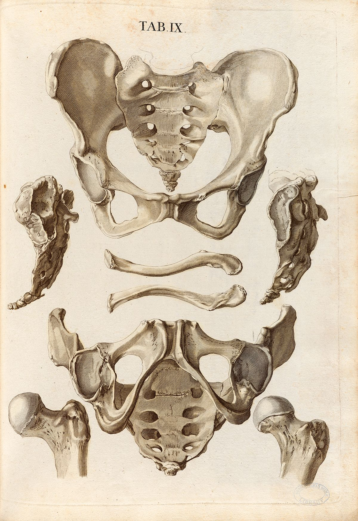 Christoph Jacob Trew Tabulae Osteologicae Human Pelvis Including