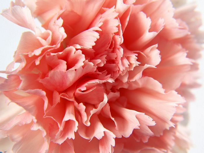 Pink Carnation Close Up Photo 1600 1200 10 Flowers Carnation Flower Carnation Flower Photos