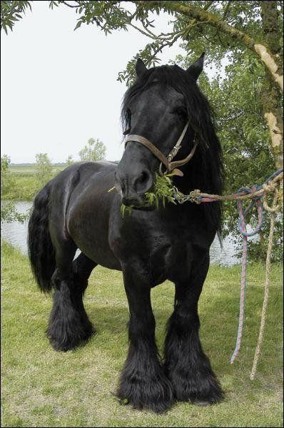 Poitou horse (France)