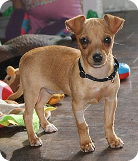 Lovables Prosser Wa Dachshund Rat Terrier Mix Meet Ginger