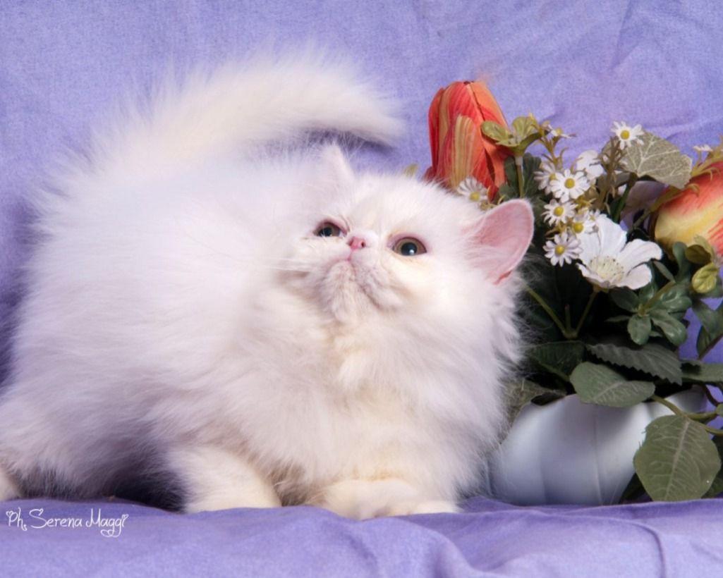 Como Gattini Persiani Vari Colori Vendita Gattini Persiano