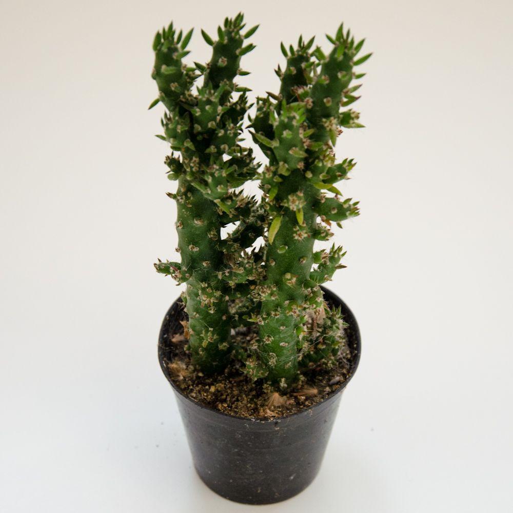opuntia leptocaulis opuntia en 2018 pinterest cactus plantes grasses et jardins. Black Bedroom Furniture Sets. Home Design Ideas