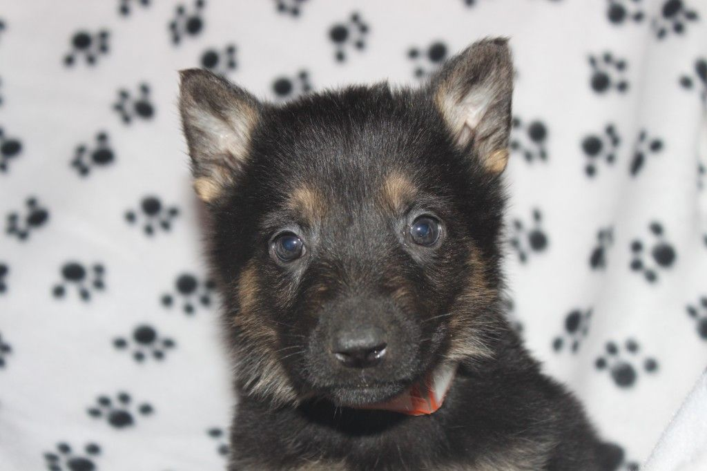 This Is A Very Nice Litter Of Family Raised Puppies Http Clearlyinternet Com Dogsclass 9214 German Shepherd Puppies Puppies For Sale Puppies