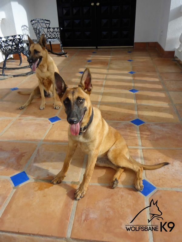 Here's Jamaica, one of our 6 month old puppies sold a client in the British West Indies. One of her friends is sitting behind her. They are both beautiful.