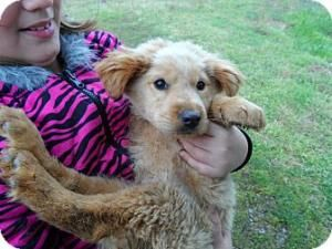 Adopt Nj Larry On Poodle Mix Dogs Dogs Golden Retriever
