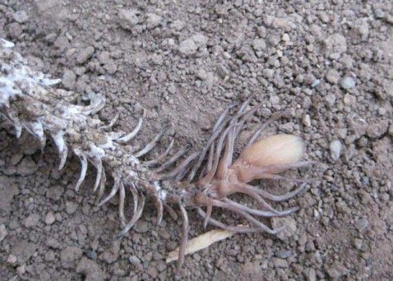 2006年に新種認定されたこのヘビは、スパイダーテイルド・クサリヘビ(Spider-tailed Horned Viper 学名:Pseudocerastes urarachnoides)と名付けられた。