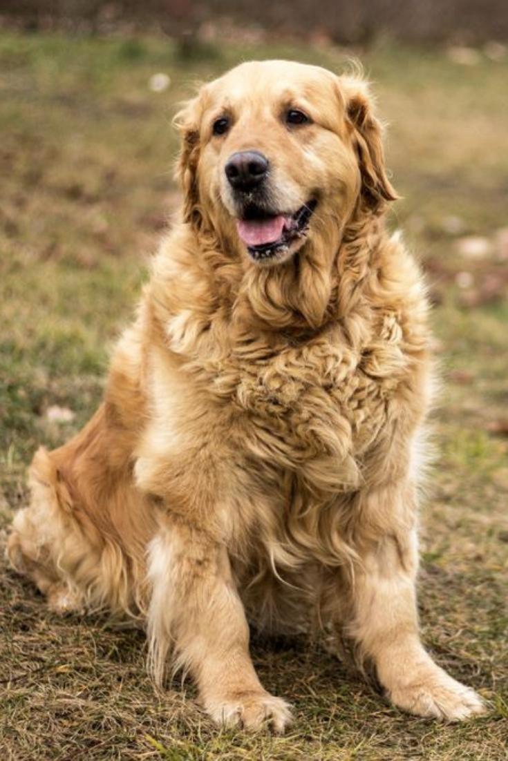 Old Golden Retriever Dog Autumn Portrait Goldenretriever In 2020 Golden Retriever Dogs Golden Retriever Golden Retriever Hunting