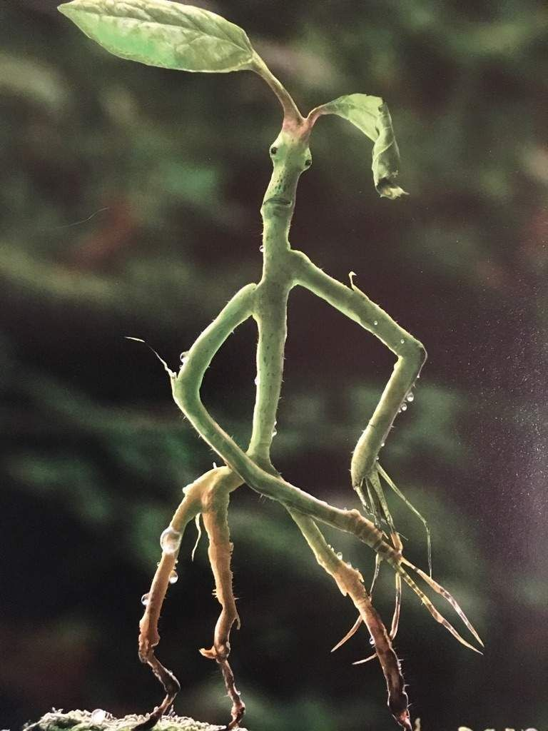 Pickett The Bowtruckle Harry Potter Amino Pickett Fantastic Beasts Harry Potter Creatures Harry Potter Fan Art Bowtruckles are tree guardians and usually live in trees whose wood is of wand quality. pickett the bowtruckle harry potter