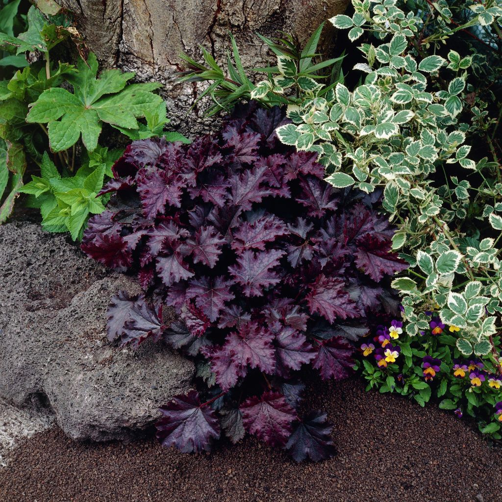 heuchera purple palace with artemisia powis castle. Black Bedroom Furniture Sets. Home Design Ideas