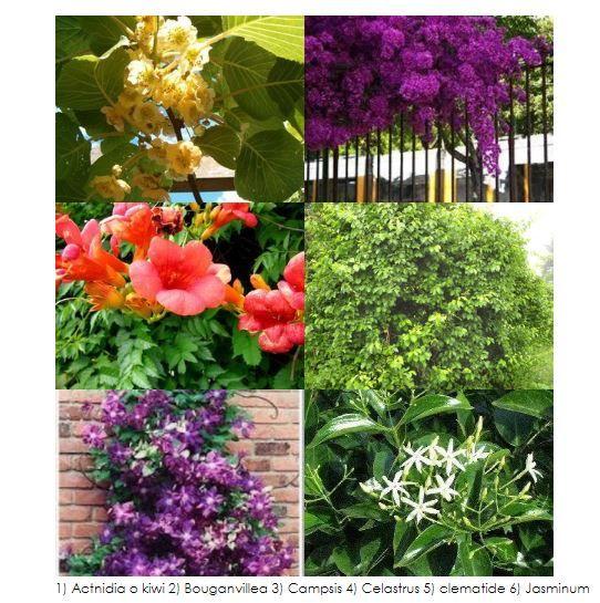 Piante rampicanti quali scegliere per giardino e terrazzo