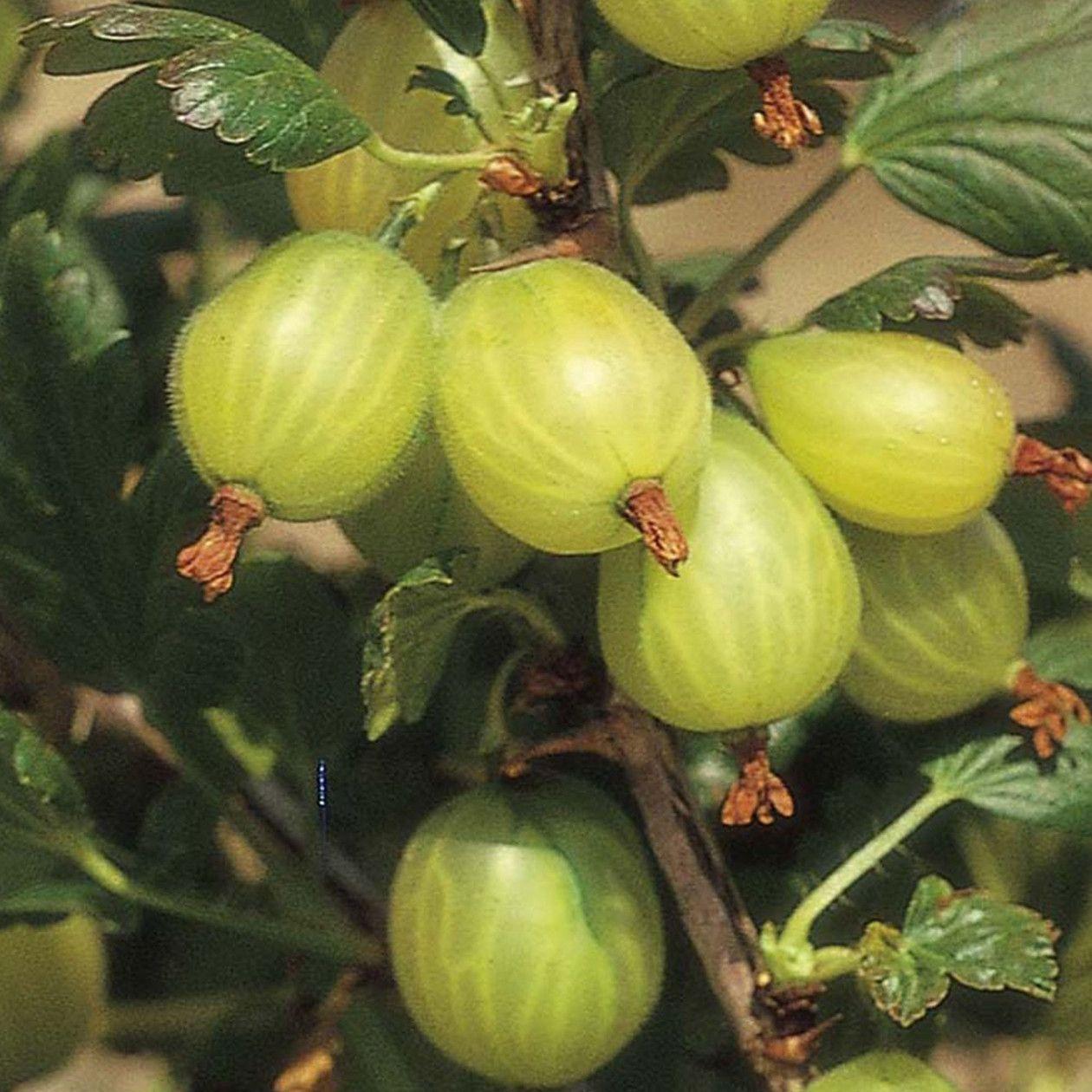 gooseberry hedges - 768×768