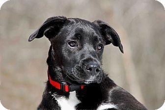 Puppy Sasha Adopted Puppy Salem Nh Labrador Retriever Boxer Mix Labrador Retriever Puppies Kitten Adoption