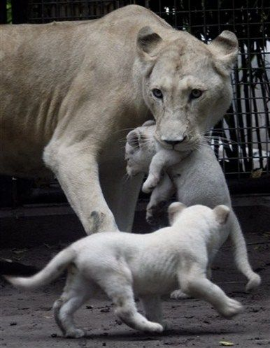 Photos Rare White Lion Cubs Born Ap Photo Animals Beautiful World Lion Day Animals Wild