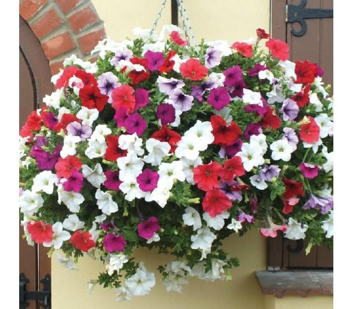 Details About 1200 Seeds Garden Petunia Mix Flower Bonsai Uk Seler Petunia Flower Flower Seeds Beautiful Flowers Garden
