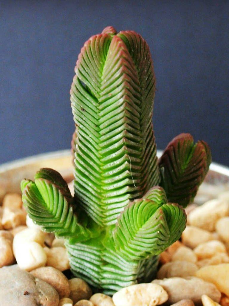 Crula Pyramidalis Paa Mini Jade Plant Characteristicore Photos At Http
