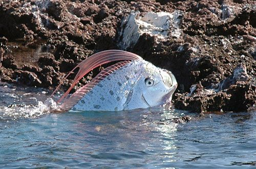 """Oarfish a deep sea fish, thought to be sent by """"Sea Gods"""" as messengers of destruction. Have washed up on shore before major earthquakes... including Haiti & Japan."""