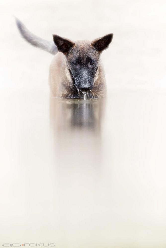 Cleopatra Malinois, 3,5 month old Belgian malinois dog
